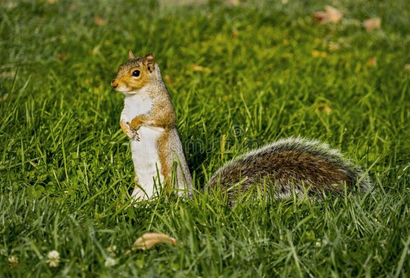 Um esquilo de Brown que está em Hind Legs na grama verde imagens de stock royalty free