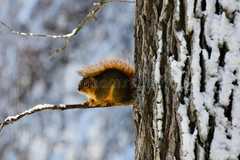 Um esquilo de Fox imagens de stock royalty free