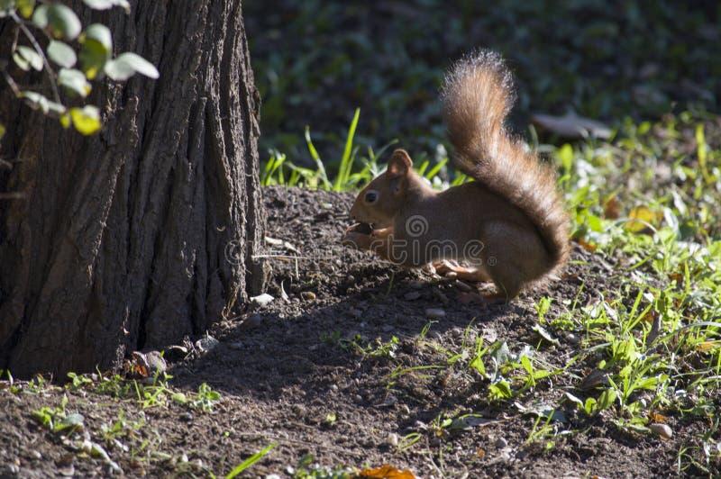 Um esquilo livra no selvagem foto de stock