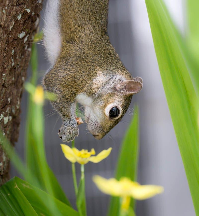 Um esquilo pendura de uma árvore e aprecia um petisco fotografia de stock