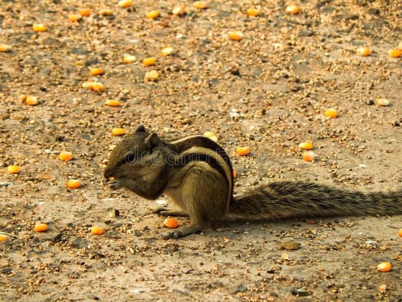 Um esquilo pequeno bonito que tem três listras em seu corpo que come o milho no assoalho de um parque fotografia de stock royalty free