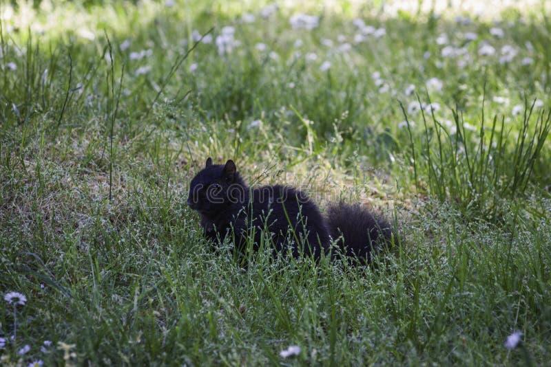 Um esquilo preto bonito coloca na grama fotografia de stock