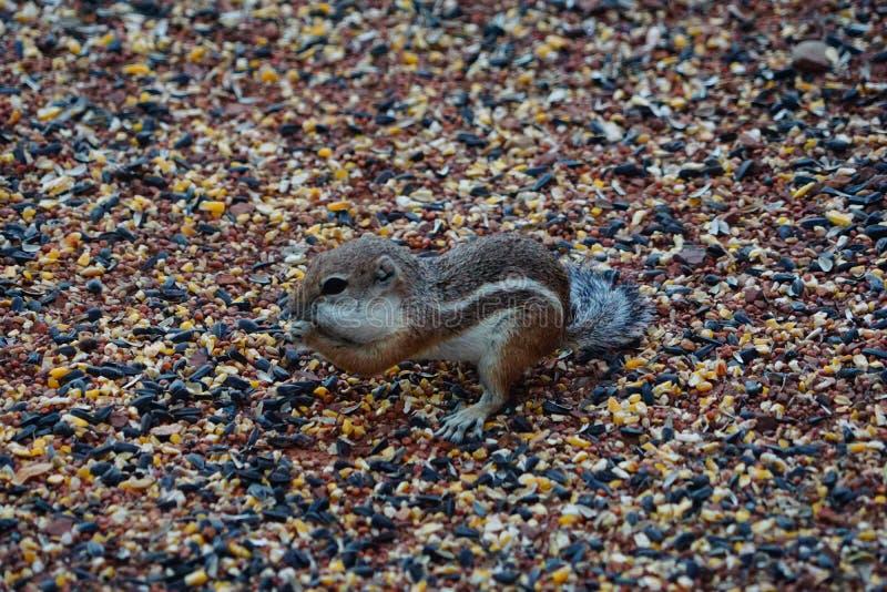 Um esquilo que come algum alimento de pássaro foto de stock