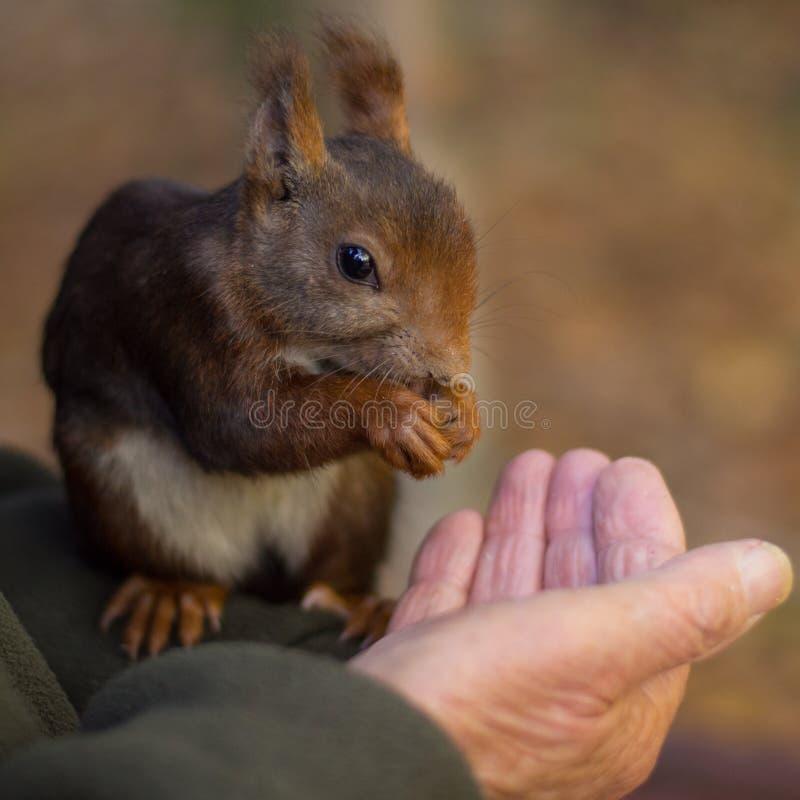 Um esquilo que come da mão imagem de stock royalty free