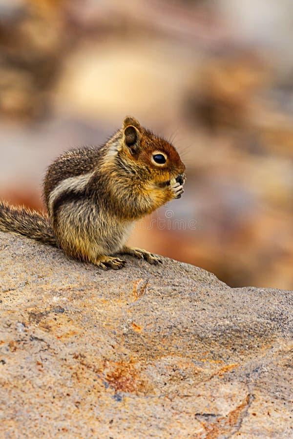 um esquilo que come uma semente em uma grande rocha foto de stock
