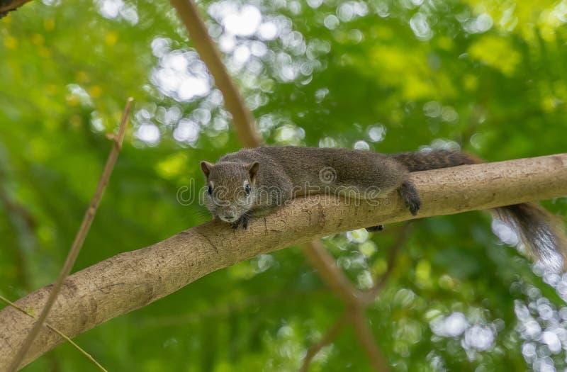 Um esquilo que descansa em um ramo de árvore foto de stock
