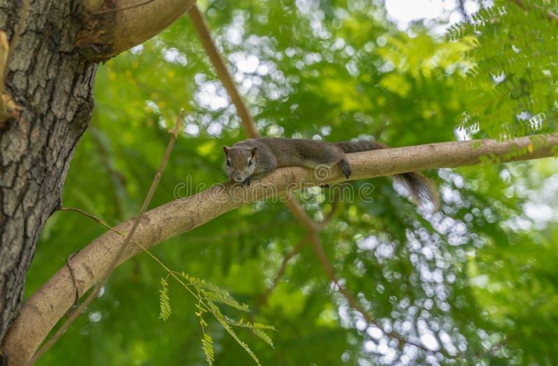 Um esquilo que descansa em um ramo de árvore imagens de stock