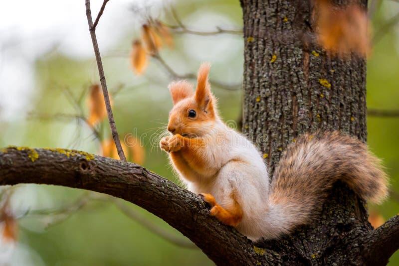 Um esquilo selvagem capturado em um dia ensolarado frio do outono, esquilo bonito engra?ado est? na ?rvore no parque do outono Na fotografia de stock royalty free