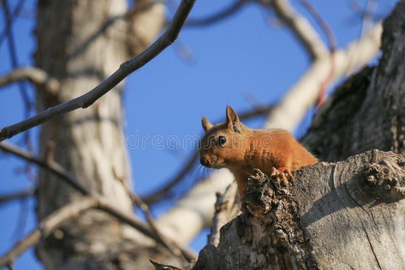 Um esquilo selvagem foto de stock
