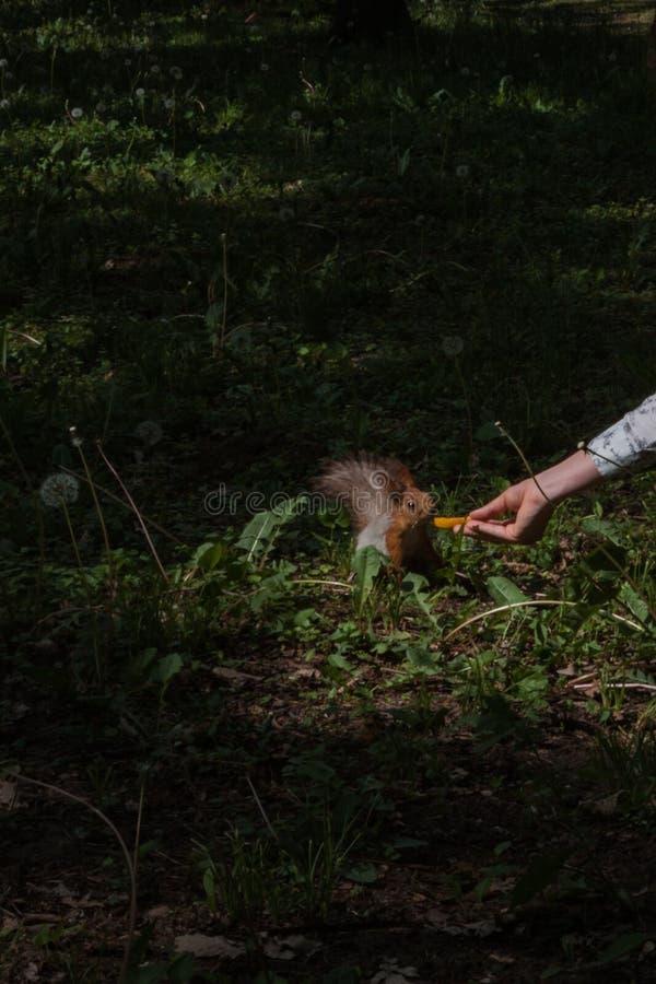 Um esquilo toma uma parte de maçã que é realizada em sua mão por uma jovem mulher animais sociáveis no parque da cidade fotos de stock royalty free