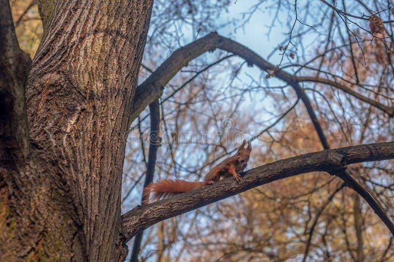 Um esquilo vermelho pequeno em uma árvore que procura o alimento fotografia de stock royalty free