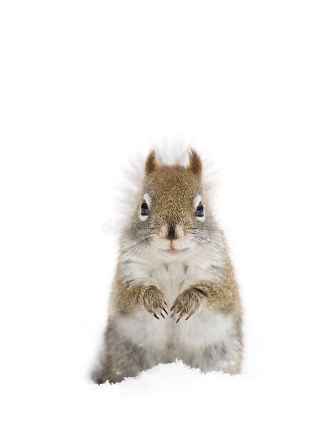 Um esquilo vermelho que está na neve do inverno no parque do Algonquin imagens de stock royalty free