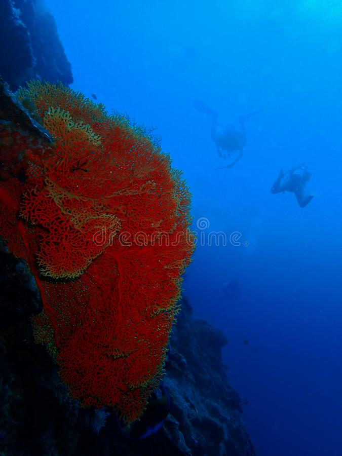Um fã coral enorme no ponto da barracuda com fundo dos mergulhadores, ilha de Sipadan, Semporna, Tawau Sabah, Mal?sia born?u foto de stock