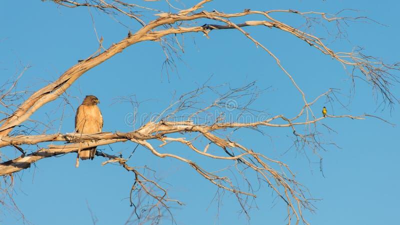 Um falcão e um pássaro pequeno que sentam-se em um ramo de árvore imagens de stock