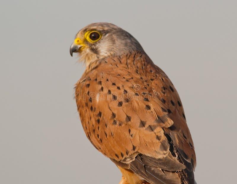 Um falcão maduro em repouso fotografia de stock royalty free