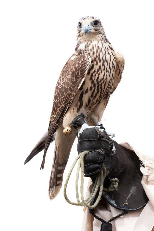 Um falcão na mão dos alimentadores fotos de stock