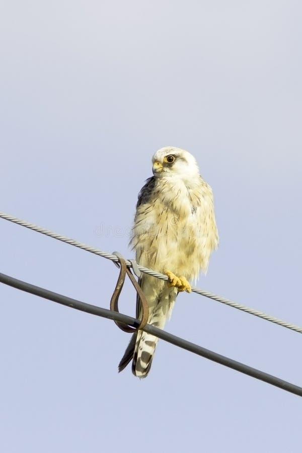Um falcão Vermelho-footed fêmea novo está sentando-se em um fio/vespertinus de Falco fotos de stock
