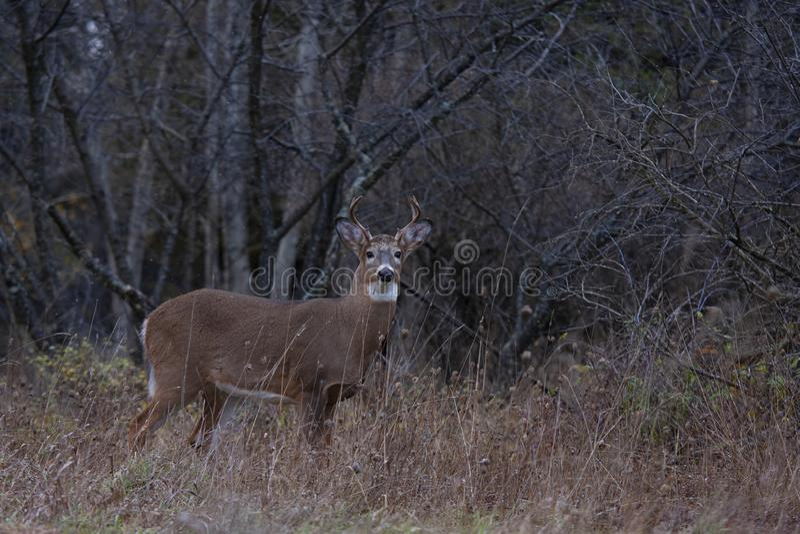 Um fanfarr?o Branco-atado dos cervos que anda atrav?s do prado durante a rotina do outono em Canad? fotos de stock royalty free