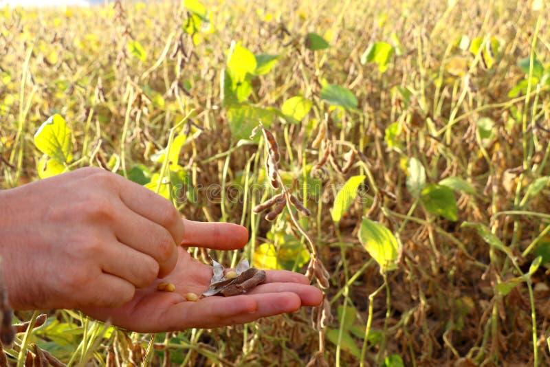 Um fazendeiro analisa o campo da soja quase pronto para ser colhido fotos de stock royalty free