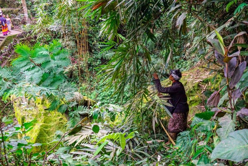 Um fazendeiro Cutting Grass Crop para o gado alimenta no campo de exploração agrícola em Banjar Kuwum, vila de Ringdikit, Bali no foto de stock royalty free
