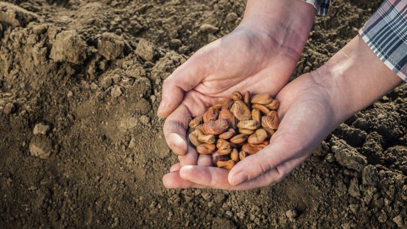 Um fazendeiro mant?m um punhado das sementes acima da terra pronto para plantar Vista superior foto de stock royalty free