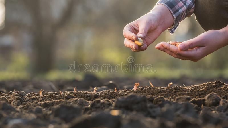 Um fazendeiro planta um bulbo da cebola no solo Vista lateral imagem de stock royalty free
