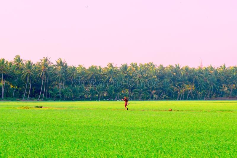 Um fazendeiro que anda em um campo do arroz da Índia foto de stock