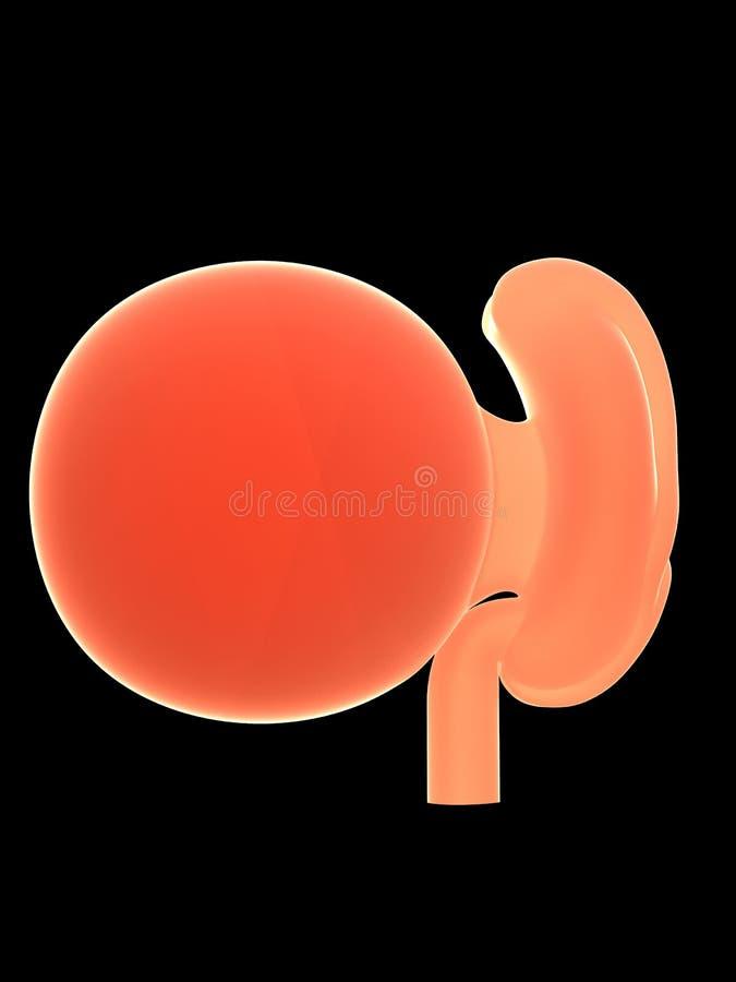 Um feto humano, semana 4 ilustração stock