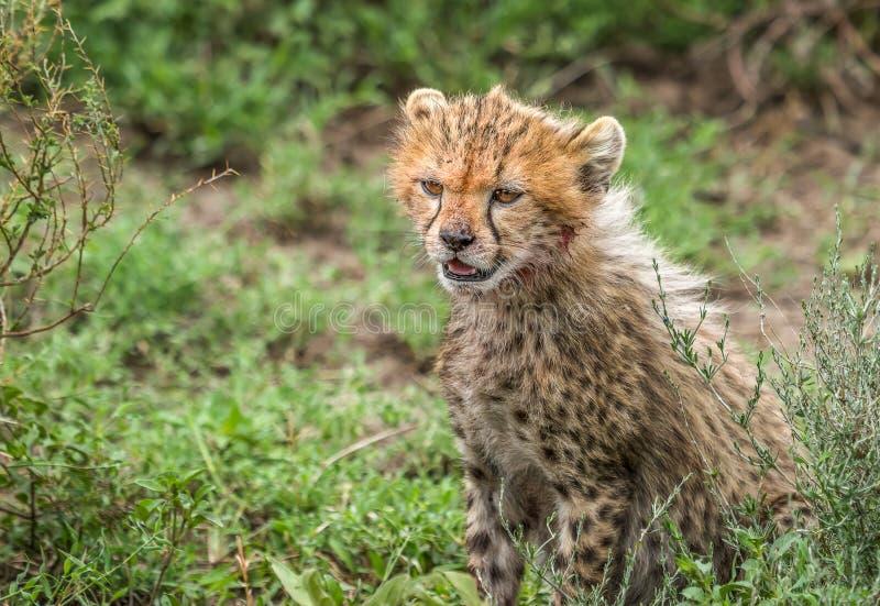 Um filhote da chita com sangue em sua cara que senta-se na pastagem em África fotos de stock royalty free