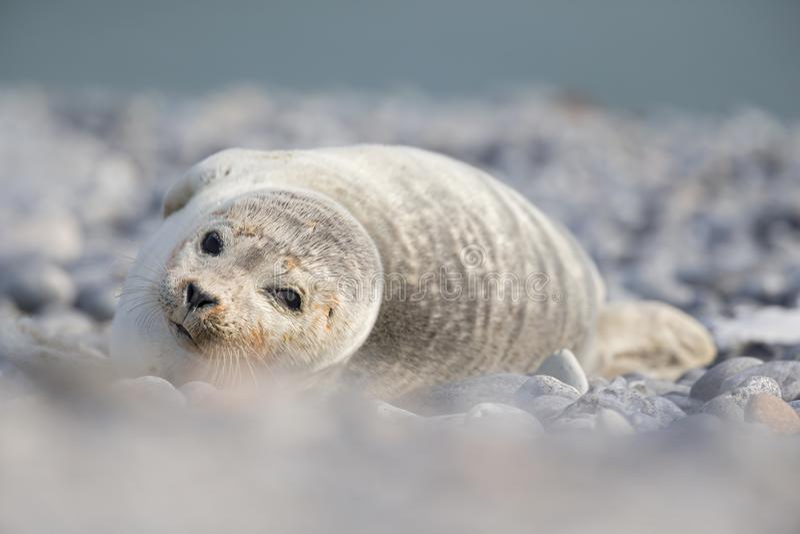 Um filhote de cachorro cinzento do grypus de Halichoerus do selo coberto com a areia que coloca na praia de Heligoland- que olha  fotografia de stock
