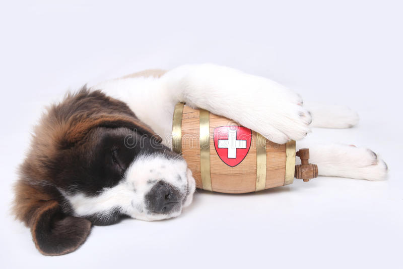 Um filhote de cachorro de Bernard de Saint com tambor do salvamento fotografia de stock