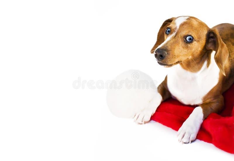 Um filhote de cachorro do dachshund foto de stock