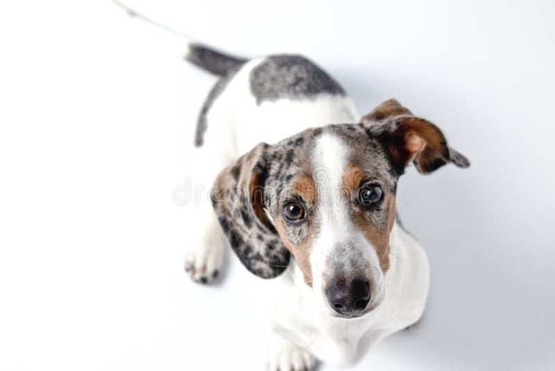 Um filhote de dachshund adorável com maçã branca, castanha e cinzenta e pelo pieável olhando para a câmera imagem de stock