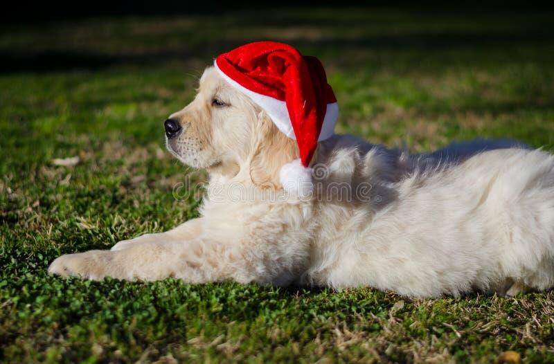 Um filhote de golden retriever de pedigree bonito com chapéu de Papai Noel em fundo verde foto de stock royalty free