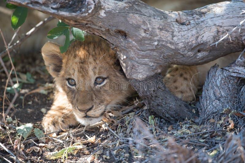 Um filhote de leão bonito escondido abaixo de uma raiz exposta imagem de stock