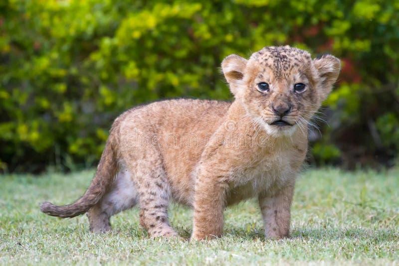 Um filhote de leão velho do mês fotografia de stock