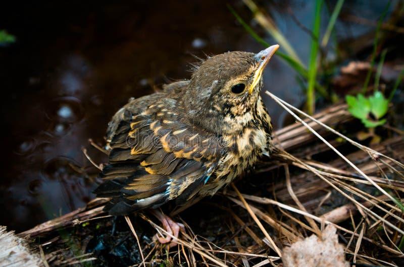 Um filhote de passarinho pequeno de um pássaro da floresta senta-se em uma árvore foto de stock royalty free