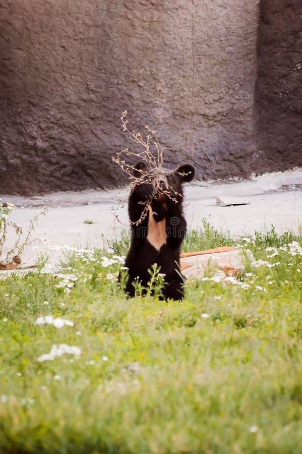 Um filhote de urso marrom bonito está jogando com um ramo imagem de stock
