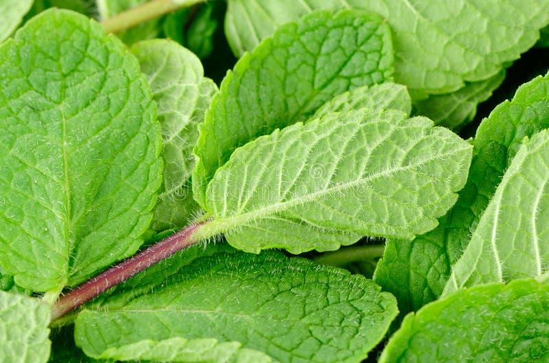 Fim-Acima verde fresco da erva da hortelã imagem de stock