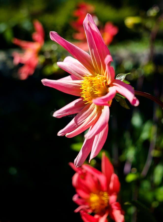 Um fim acima da flor corajosa nas cores brilhantes que alcançam ao sol fotografia de stock royalty free