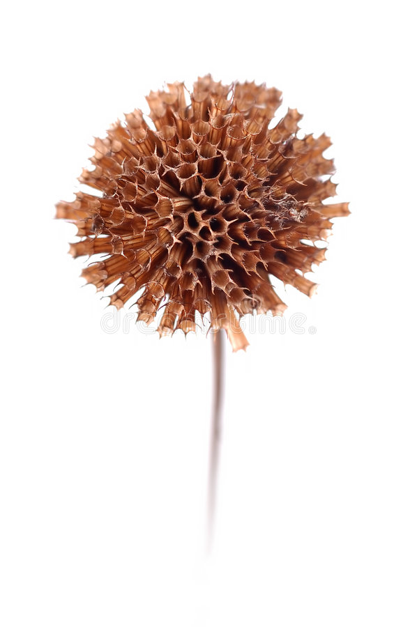 Um fim acima da foto minimalistic da flor seca pequena imagens de stock royalty free
