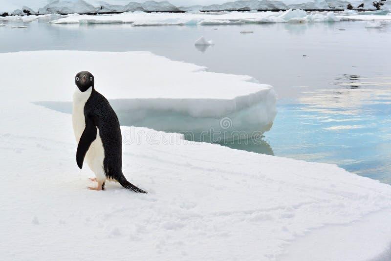 Um fim acima da opinião um pinguim que pendura para fora em um iceberg fotos de stock royalty free