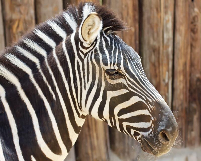 Um fim acima da opinião uma zebra foto de stock royalty free