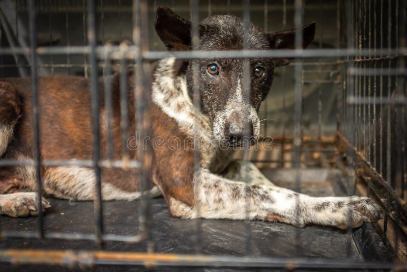 Um fim acima de um cão disperso da rua em Tailândia em uma caixa que espera o tratamento médico, expressão muito triste nos olhos imagens de stock
