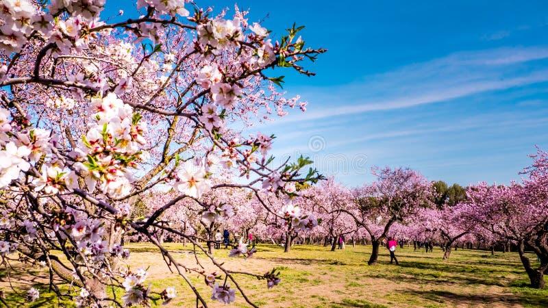 Um fim acima de flores cor-de-rosa de florescência da árvore de amêndoa na mola fotos de stock