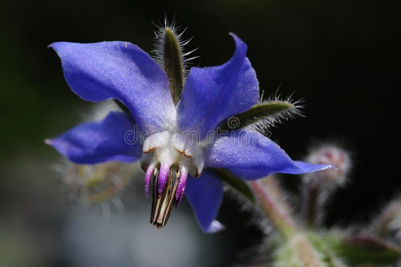 Um fim acima de officinalis azuis de um Borago, da flor do borage imagens de stock