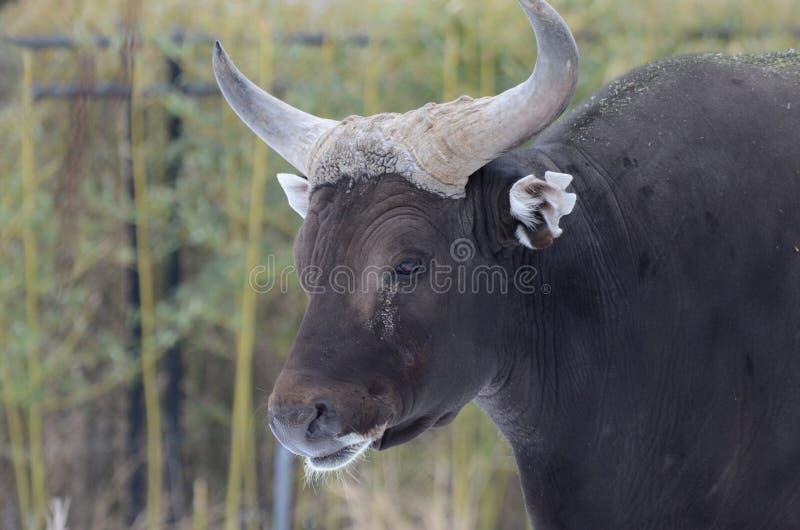 Download Cabeça Masculina Do Banteng Foto de Stock - Imagem de olhar, macho: 29835718