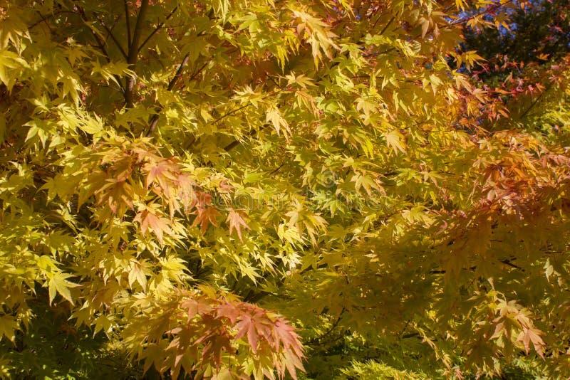 Um fim acima de uma árvore de bordo em cores outonais fotografia de stock