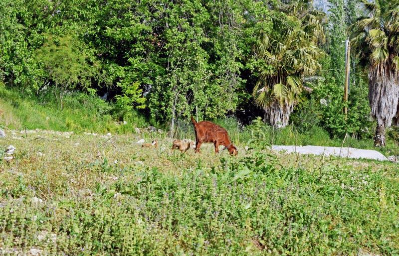 Um fim acima de uma cabra da mãe e do bebê que come a grama em um campo imagem de stock royalty free