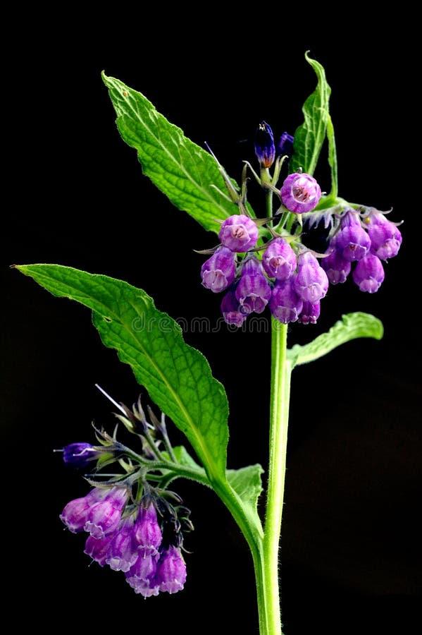 Um fim acima de uma planta verdadeira de florescência da consolda-maior contra um fundo preto foto de stock royalty free